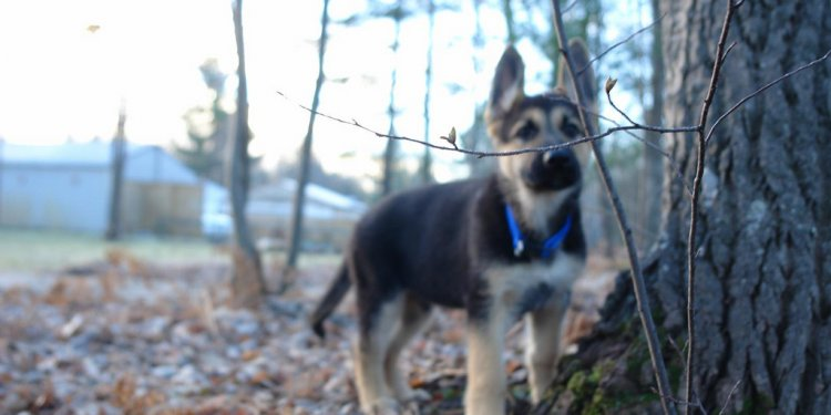 AKC black and tan German Shepherd puppies