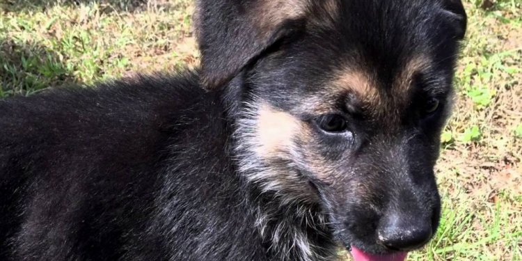 German Shepherd Puppies Fl