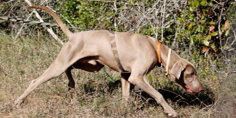 K9-conservation-weimaraner