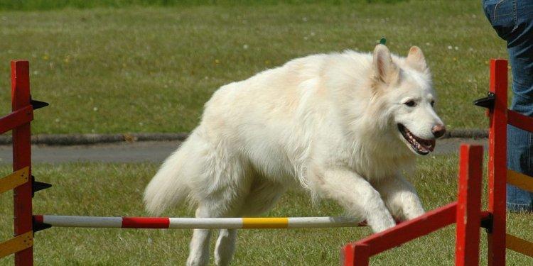 File:White German Shepherd.jpg