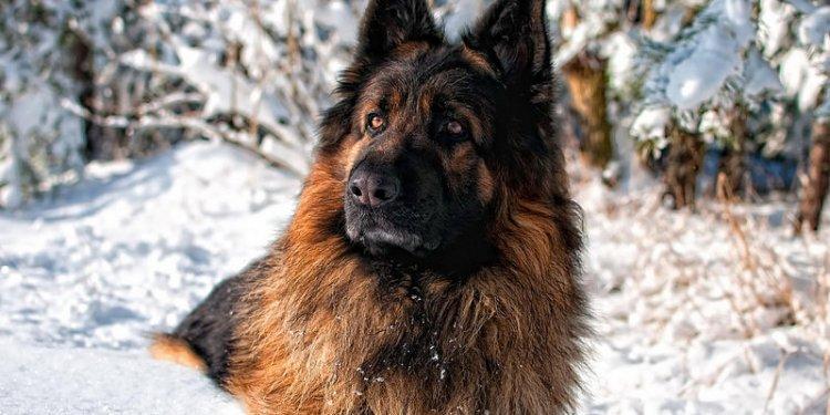 German_shepherd-1507141