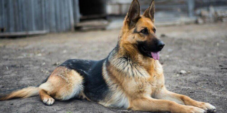 German Shepherd Coat