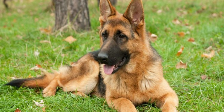 German Shepherd Breed Profile