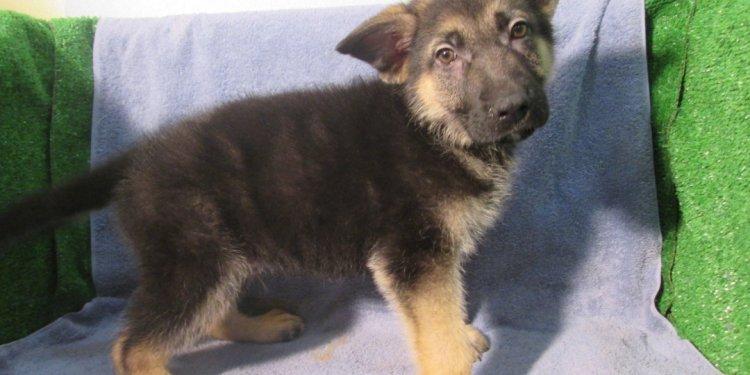 German shepherd dog club