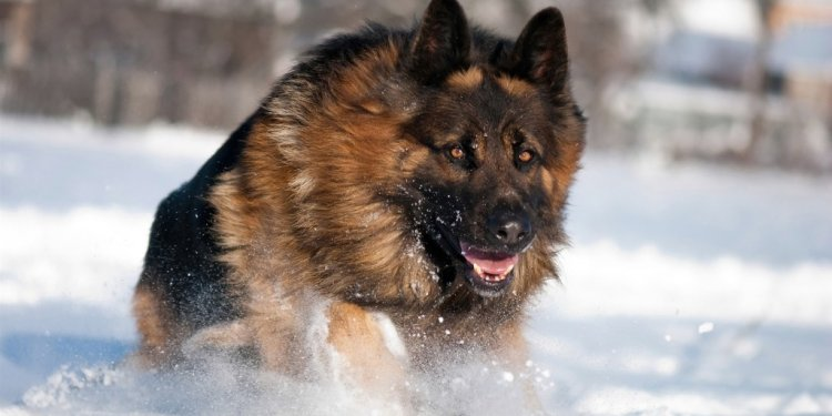 German Shepherd 2013