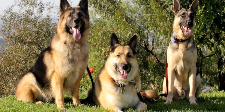 German Shepherd FAQs