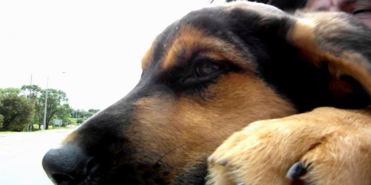German Shepherd Lab Puppy