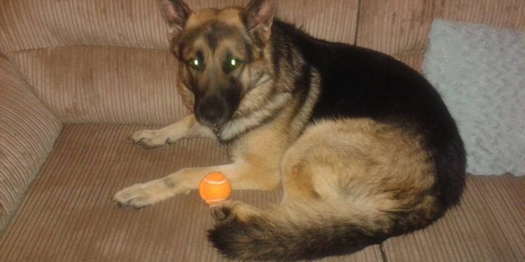 German Shepherd male - Pets