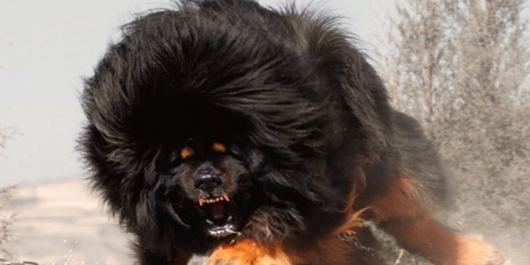 Vicious Dog Breeds Images