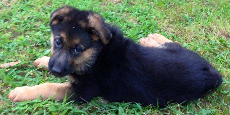 German Shepherd New Born