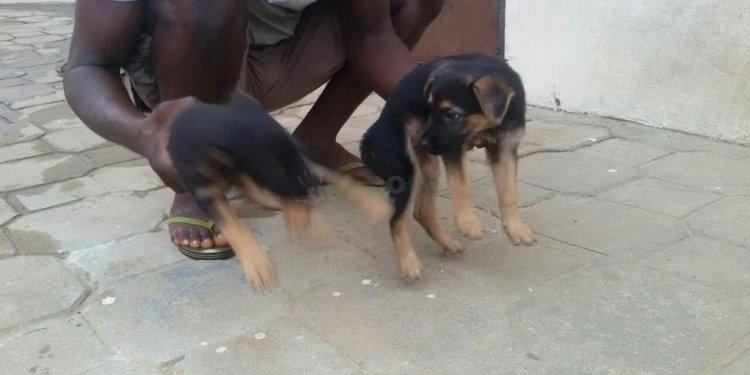 German Shepherd Puppies For
