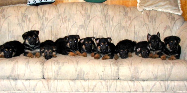 German Shepherds New Arrivals.