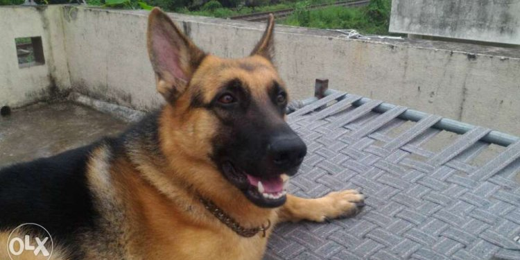 Gsd dog mail age 13 month for