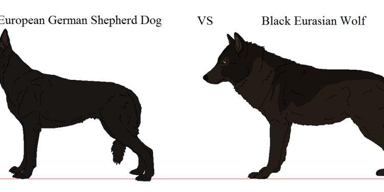 European GSD VS Eurasian Wolf