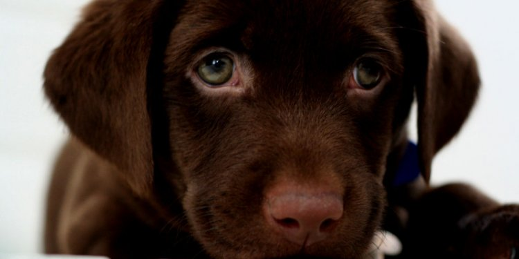 Puppy Chocolate Labs