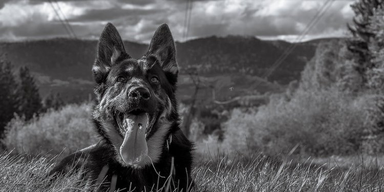 Ikho, German Shepherd / Black and White