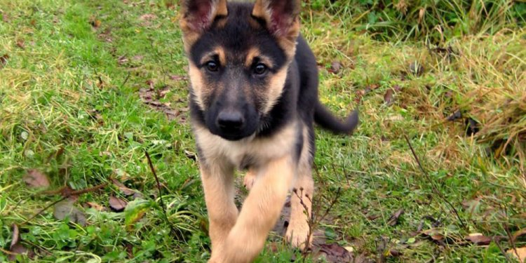 Miniature German Shepherd 101