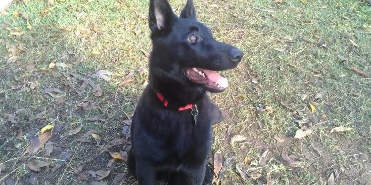 My all black German shepherd