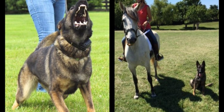 The German Shepherd Dog is one