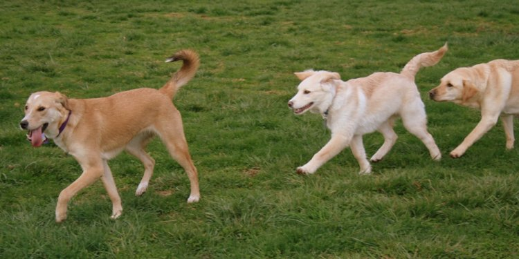 Two blonde shepherd mix dogs