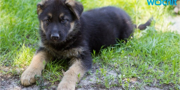 Owning German Shepherd Puppies