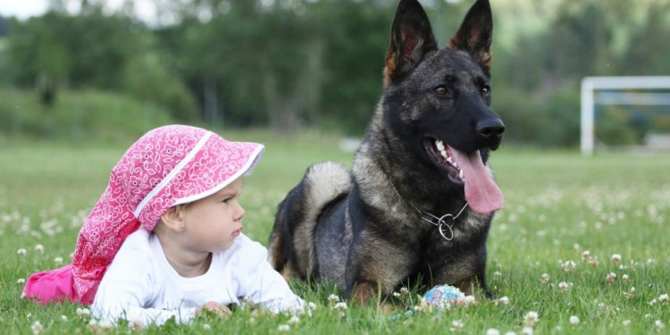 Fully Trained German Shepherds