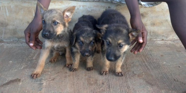 PUPPIES ALSATIAN DOG