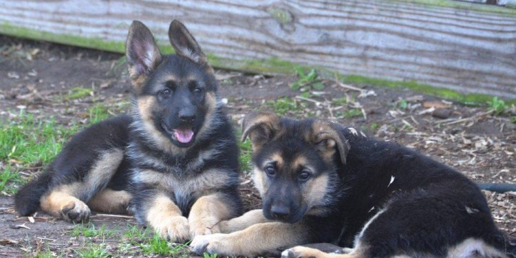German Shepherd puppies - Pick