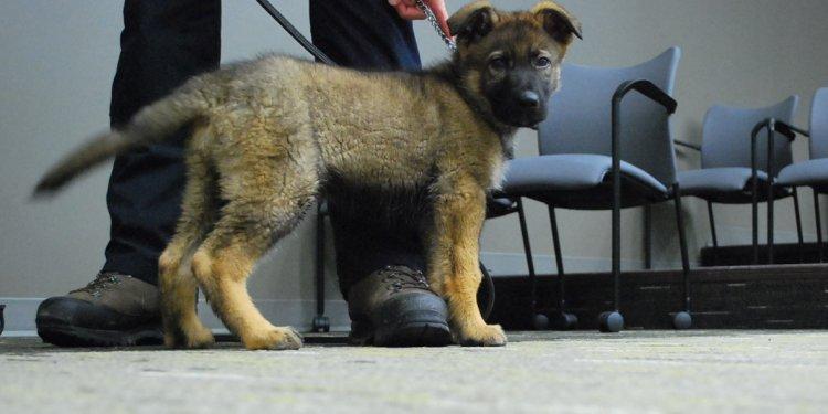 RCMP German shepherd puppy