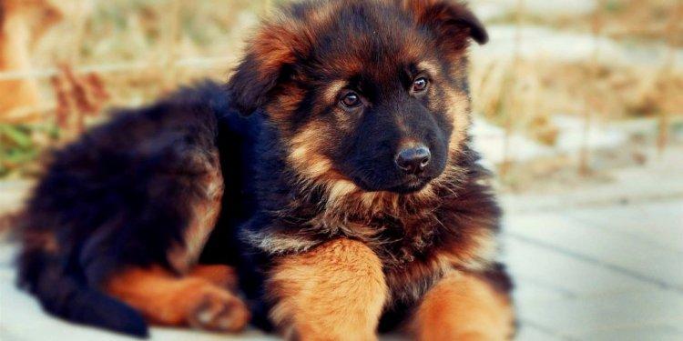 Red German Shepherd Puppies