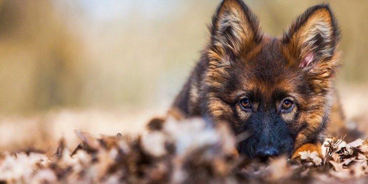 Best German Shepherd breeder