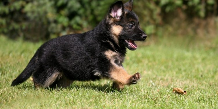 Splendid German Shepherd