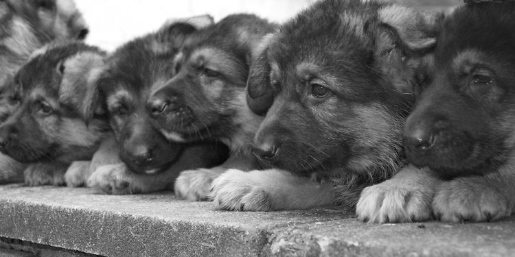 The Litter- German Shepherd
