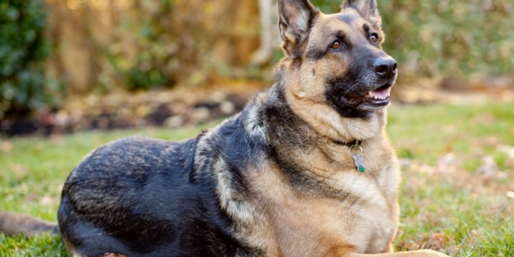 Know about German Shepherd