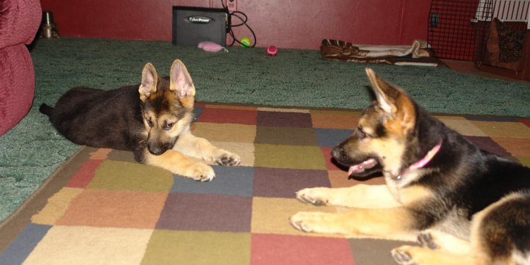 Titan Lola AKC black and tan German Shepherd puppies