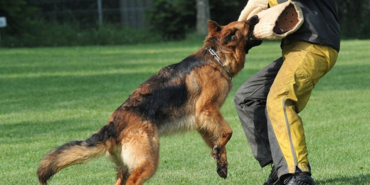 Dog german shepherd training