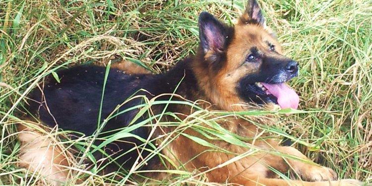Year old German Shepherd: