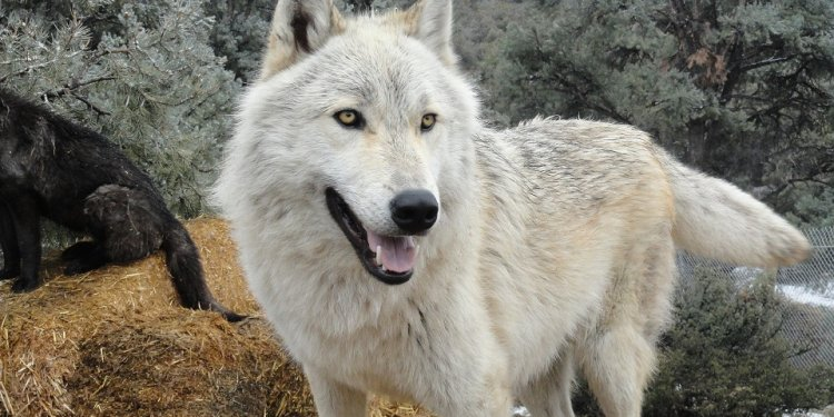 Wolfdogs - Comparing Content