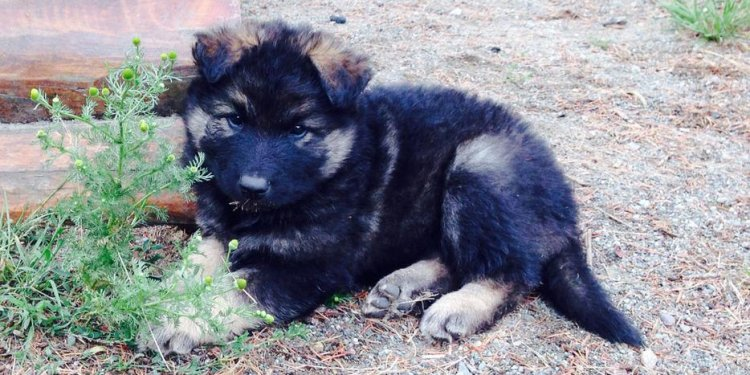 Wolf/German Shepherd Puppies