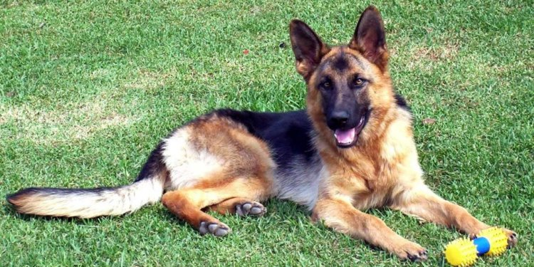 Wonderful German Shepherd Dogs