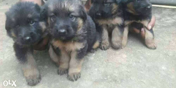 Black and brown German Shepherd puppies