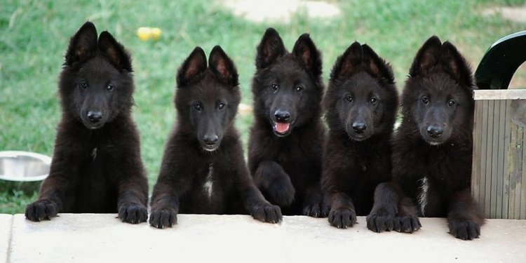 Black German Shepherd police Dog
