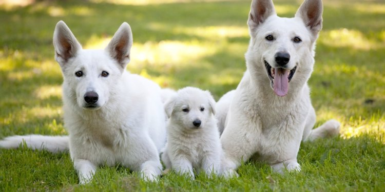 Adult White German Shepherd