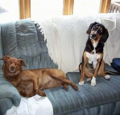 A brown Nova Scotia Duck Toller/Pit Bull mix is laying against the arm of a couch and next to it is a tricolor black with brown and white Beagle/Black Labrador mix that is sitting with its head tilted to the right.