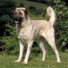 Anatolian Shepherd Photos