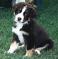 Australian Shepherd puppy sitting in the grass
