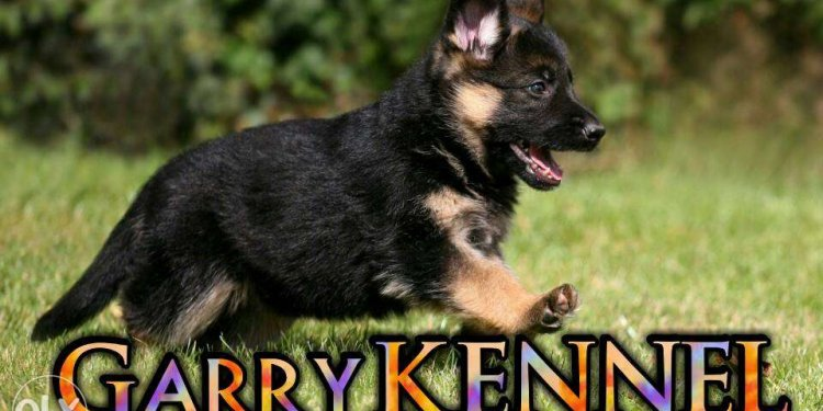 German Shepherd in black colour