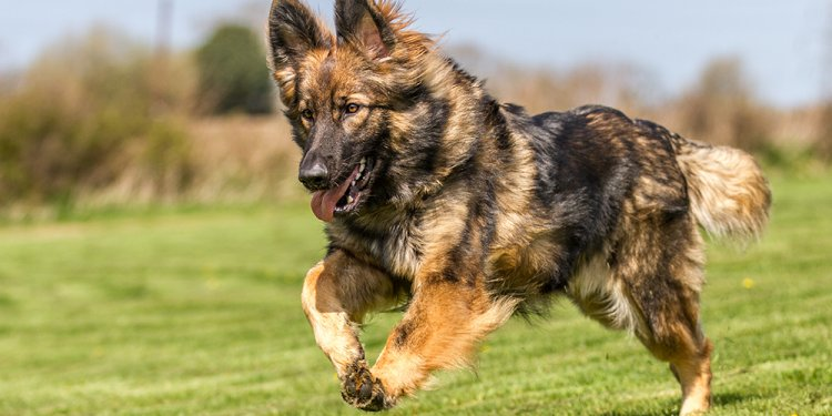 GSD breed