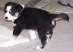 Cully the Border-Aussie puppy looking into the distance standing on a tiled floor