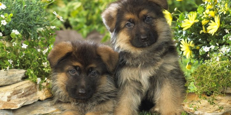 German Shepherd dogs images